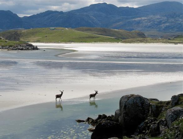 deer on uig sands isle of lewis